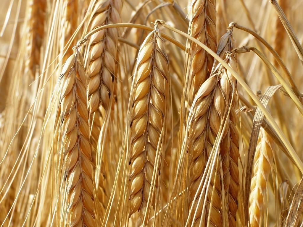 Celiakia – czyli alergia na gluten